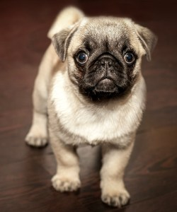 Naples Dog-Sitter, puggy puppy