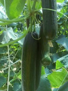 Cucumbers at Verde farm