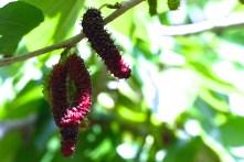 Pencil mulberries