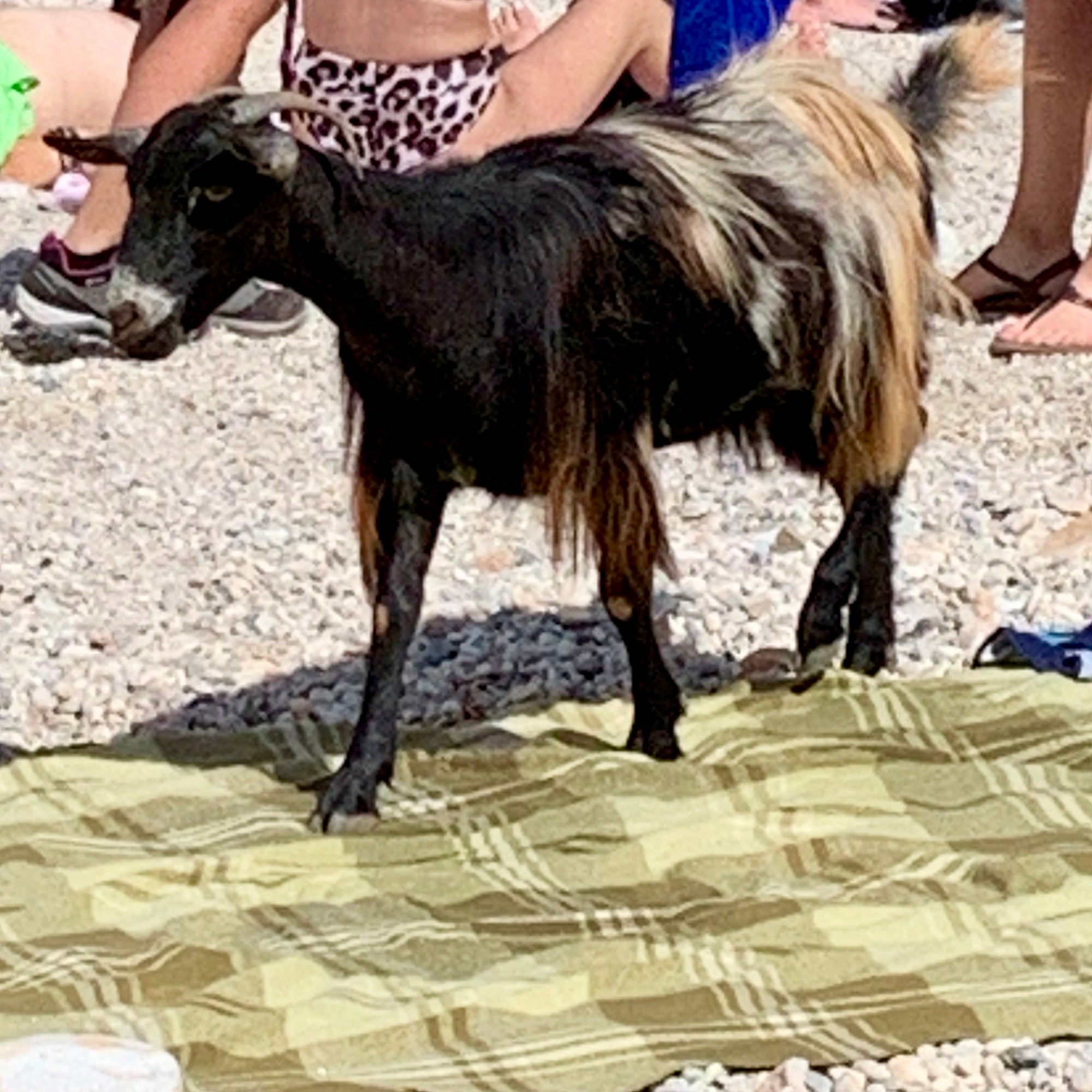 Goat at Seitan Limania Beach