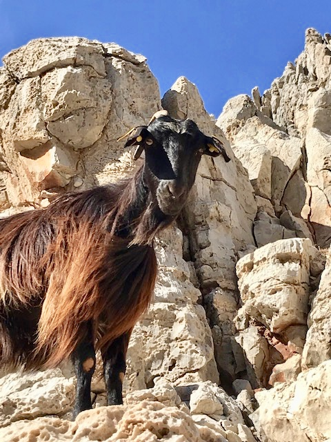 Goat at the Beach in Crete Greece