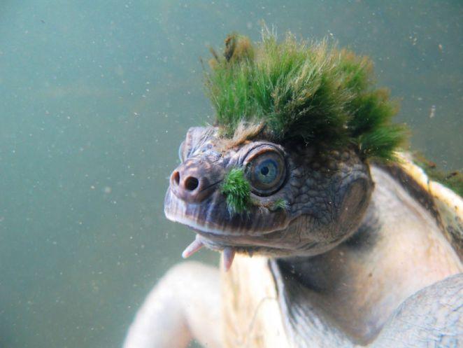 Punk Kaplumbağa
