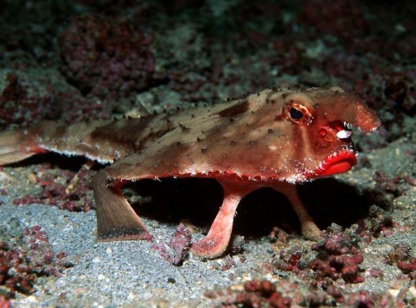 Yarasa balığı