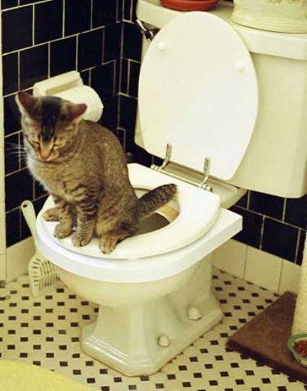 tuvalete giden kedi