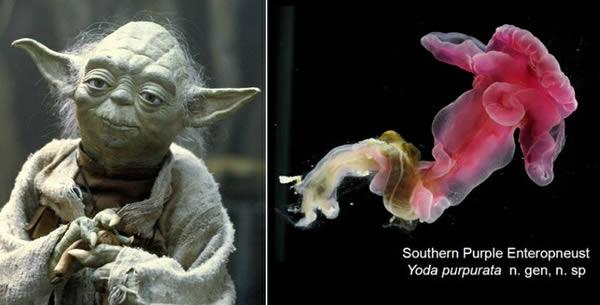 Yoda purpurata