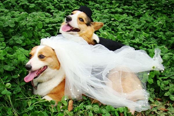 aşık-köpekler