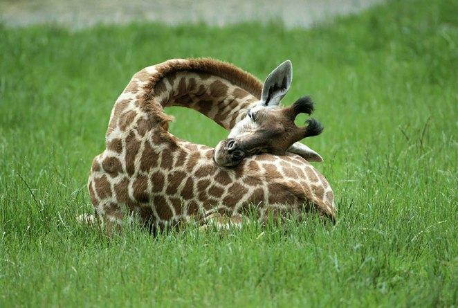 zürafalar nasıl uyur