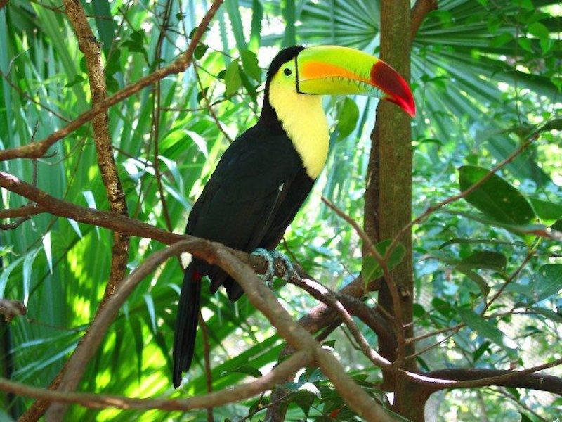Keel-Billed Toucans