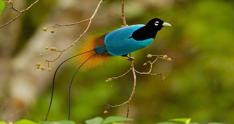cennet kuşu