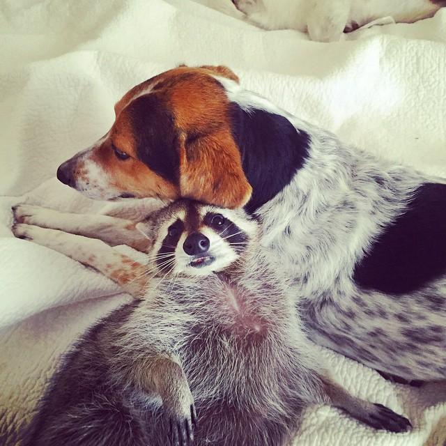 rakun ve köpek
