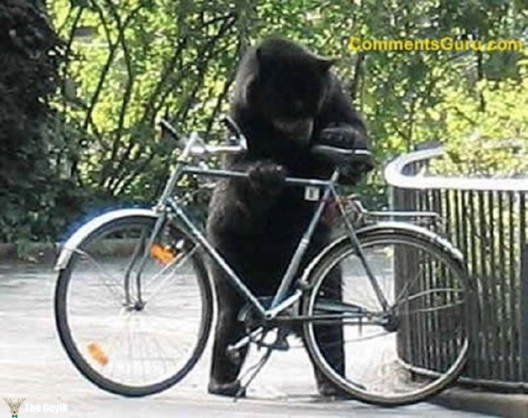 bisiklet çalan ayı