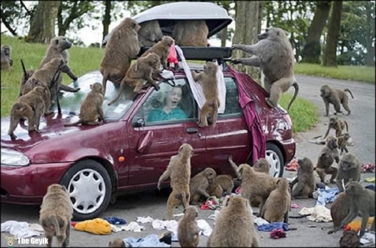 hırsız maymunlar