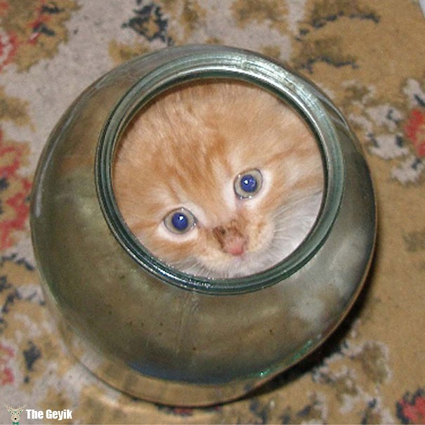 kavanoza girmiş kedi