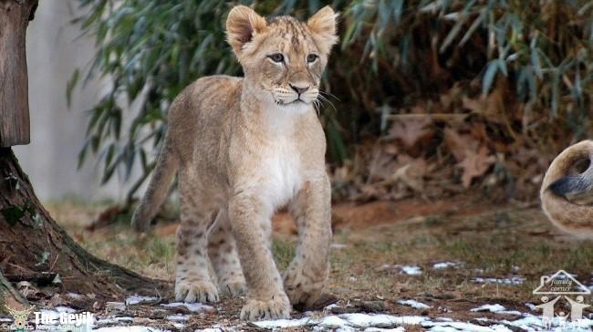 aslan5