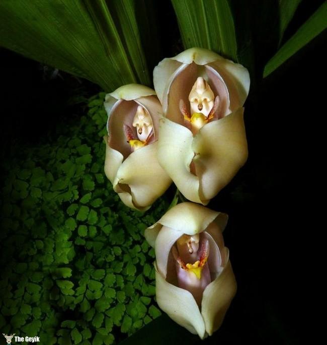 Anguloa Uniflora orkide