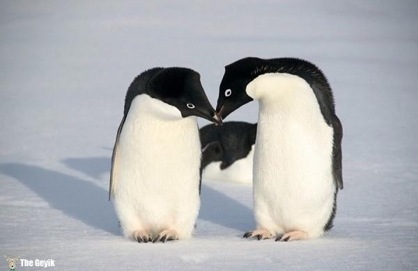 aşkını öperek gösteren hayvanlar 7