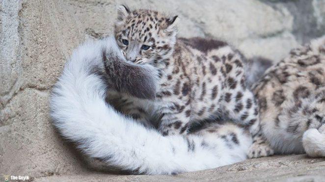 snow-leopards-biting-tail-funny-cats-6-573db421e4dba__880