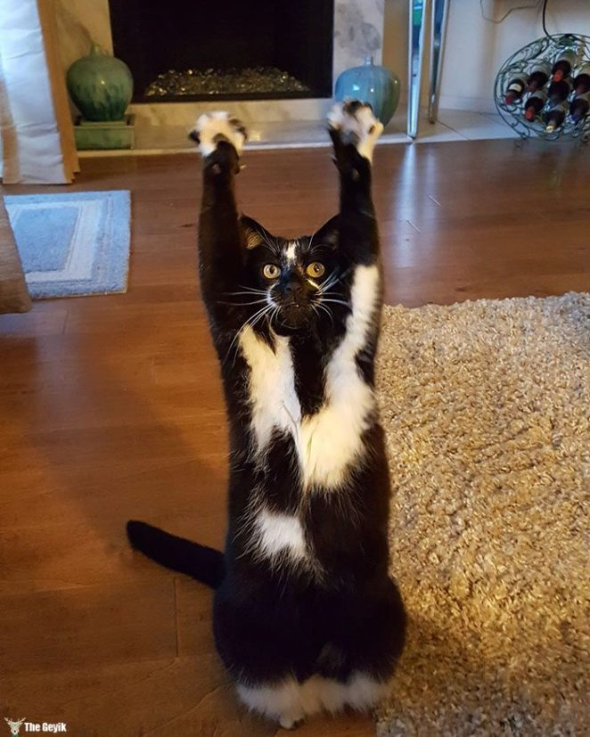 teslim olan kedi