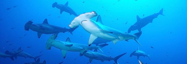 School of hammerhead sharks, Gordon Rocks