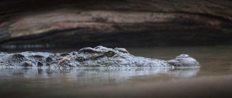 crocodile-3934988_1920 (1)