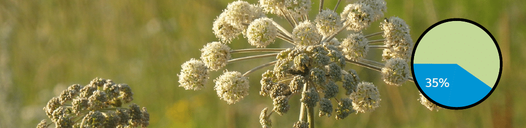 Top 10 Gin Botanicals: #3 Angelica