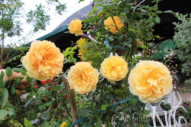 Golden Celebration Rose – Kim Long