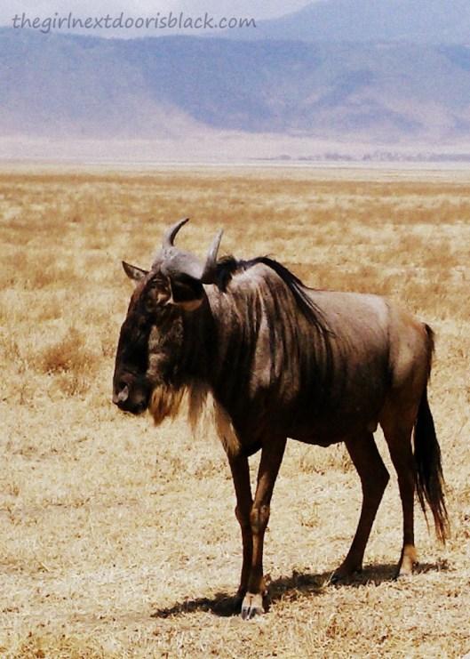 Wildebeest in Ngorogoro Park Tanzania Safari | The Girl Next Door is Black