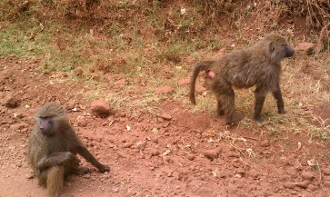 Monkeys outside Ngorongoro Crater Tanzania | The Girl Next Door is Black