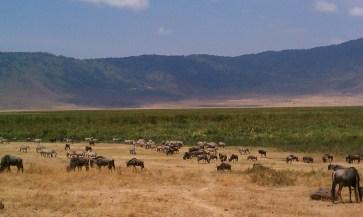 Zebras and wildebeests mingling in Ngorongoro Crater Tanzania | The Girl Next Door is Black