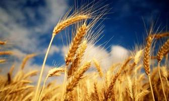 "Doctor Says Genetically Modified Wheat a ""Perfect, Chronic Poison"""