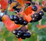 Aronia Berries: The New Antioxidant Super Fruit