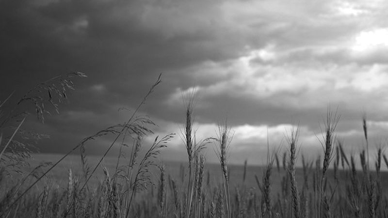 Wheat-Fields-Black-and-White
