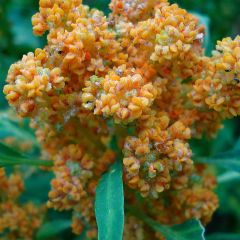 Quinoa Production Goes Global