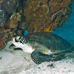 Do Sea Turtles Eat Plastic Marine Debris? Yes!