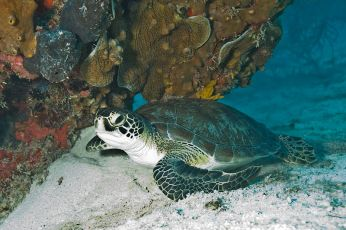 Green_Sea_Turtle_Biscayne