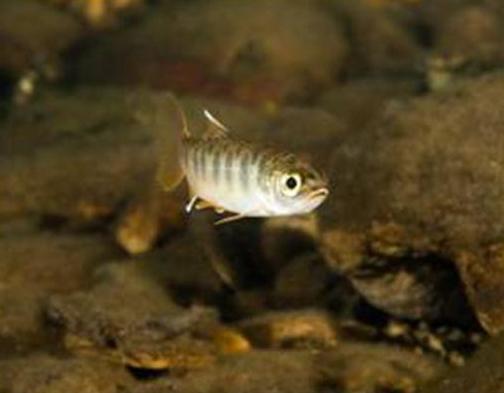 Juvenile_Coho_Salmon_NOAA