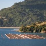 Salmon Farming: The Chilean Massive Die-Off