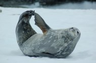 Scratchy Seal_Antarctica