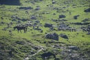 Betaab Valley - grazing