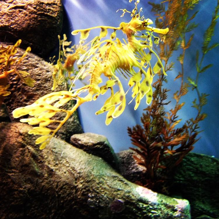 Seadragon Monterey Bay Aquarium