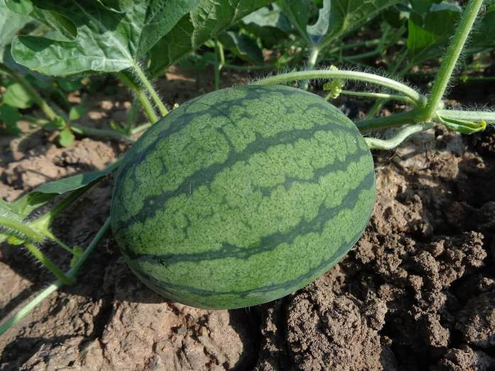 how to harvest watermelon