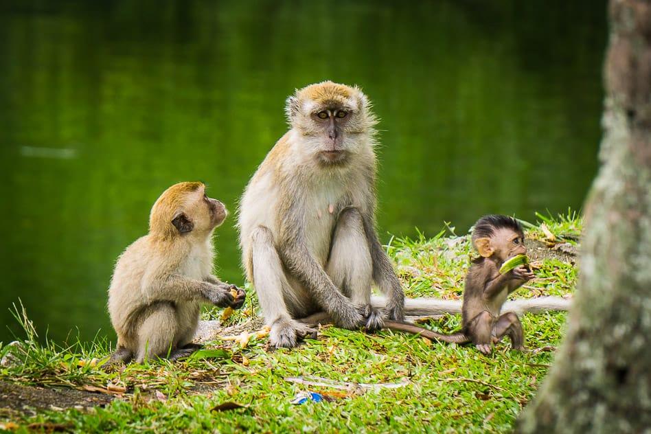 Monkeys Gunung Lang Park Ipoh Malaysia