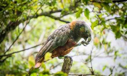 The Orokonui Ecosanctuary in New-Zealand