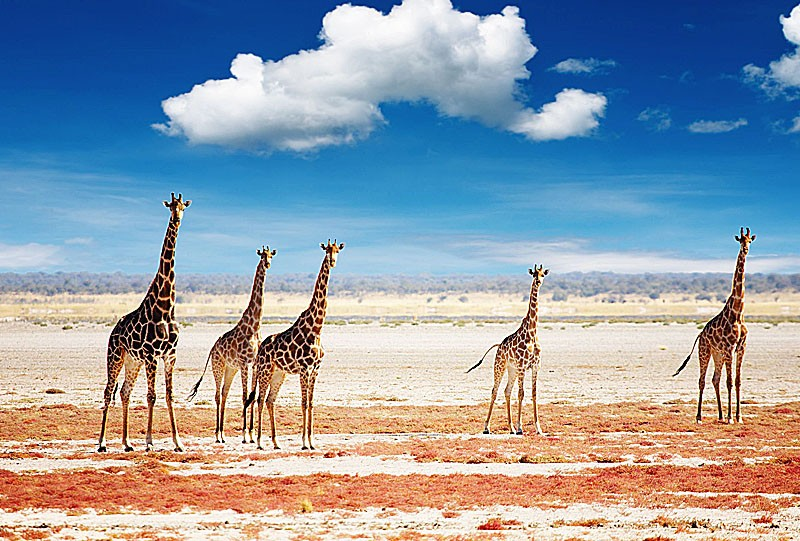 parc national de skeleton coast namibie girafe