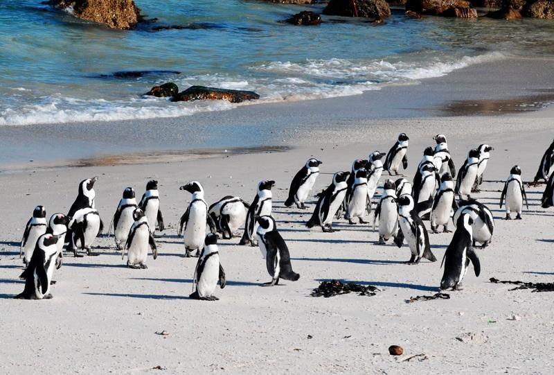 Boulders Beach Le cap Afrique du sud a voir