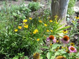 Sun Baby Coreopsis are re-blooming
