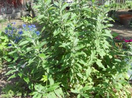 Buddleia is growing taller