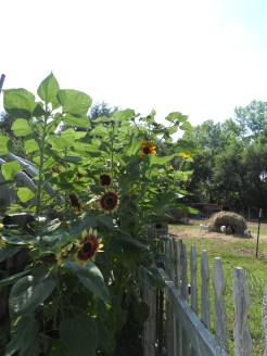a few of the many Sunflowers planted this spring