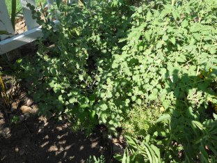 look at the horehound - time to make some cough drops for winter!