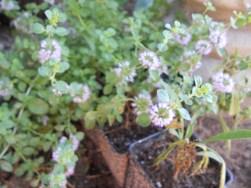 Pennyroyal in bloom